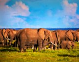 africaelephants